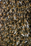 Honey Bee Swarm Close Up Stock Photos