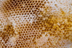 Honey bee swarm Royalty Free Stock Image
