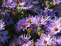 Honey Bee Takes Nectar From A Daisy Flower Bed azul foto de stock royalty free