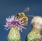 Honey Bee On Thistle Images libres de droits
