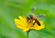 Honey Bee till blomman och mot efterkrav nektaret Arkivbild