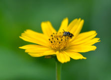 Honey Bee to the flower and collect the nectar Stock Photo