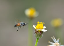 Honey Bee to the flower and collect the nectar Stock Image