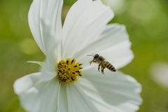 Honey bee is about to land Royalty Free Stock Image