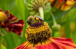 Honey Bee collecting pollen on top of beautiful Rudbeckia flower