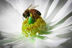 Honey Bee. On top of close up yellow flower Royalty Free Stock Images