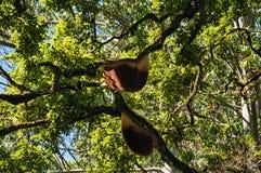 Honey Bee tree in Munnar Royalty Free Stock Photo