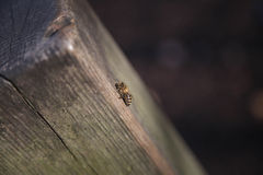 A honey bee on a tree - winter royalty free stock image