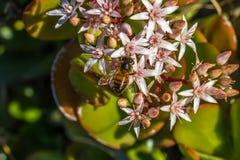 Honey Bee Two Fotografia Stock Libera da Diritti