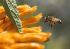 Honey Bee und orange Blumen Stockfotografie