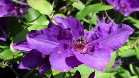 Honey bee on violet blooming clematis Stock Images