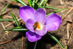 Honey bee at violet crocus flower Royalty Free Stock Photo