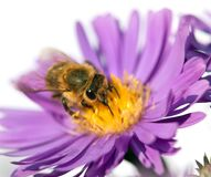 Honey bee on violet flower isolated on white background Stock Photography