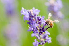 Honey bee visiting the lavender flowers and collecting pollen close up pollination Stock Images
