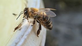Bee waiting and flying stock video footage