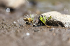 Honey bee - water collecting Royalty Free Stock Image