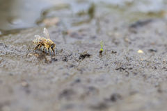 Honey bee - water collecting Stock Photography