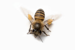 Honey Bee in White Background. Royalty Free Stock Images