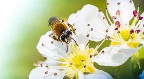 Honey bee on white cherry blossom Stock Photos