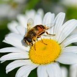 Honey bee on white daisy Royalty Free Stock Photography