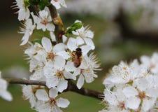 Honey Bee on White Flower Bush Stock Photography