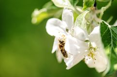 Honey bee on a white flower and collecting polen. Flying honeybee. One bee flying during sunshine day. Insect. Honey bee on a white flower and collecting polen Royalty Free Stock Photo