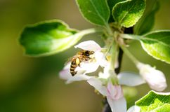 Honey bee on a white flower and collecting polen. Flying honeybee. One bee flying during sunshine day. Insect. Honey bee on a white flower and collecting polen Stock Images