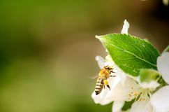 Honey bee on a white flower and collecting polen. Flying honeybee. One bee flying during sunshine day. Insect. Honey bee on a white flower and collecting polen Stock Photos