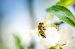 Honey bee on a white flower and collecting polen. Flying honeybee. One bee flying during sunshine day. Insect. Honey bee on a white flower and collecting polen Royalty Free Stock Photography
