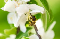 Honey bee on a white flower and collecting polen. Flying honeybee. One bee flying during sunshine day. Insect. Honey bee on a white flower and collecting polen Royalty Free Stock Image