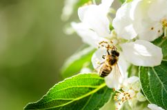 Honey bee on a white flower and collecting polen. Flying honeybee. One bee flying during sunshine day. Insect. Honey bee on a white flower and collecting polen Stock Photography
