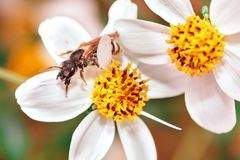 Honey bee on a white flower, daisy royalty free stock photography