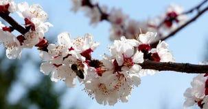 Honey Bee On White Flower stock footage