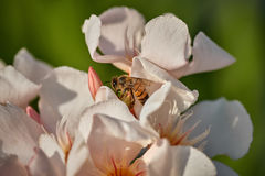 Honey Bee on White Flower. In San Jose Del Cabo, Mexico Royalty Free Stock Images