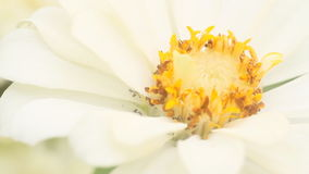 Honey bee in a white zinnia flower stock video footage