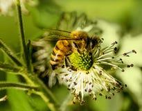Honey Bee on Wild Berry  Flower Stock Images