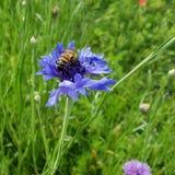 Honey bee on wild flower stock photos