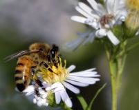 Honey Bee on Wildflower. Honeybee gathering nectar from a wild aster flower Royalty Free Stock Photos