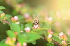 Honey bee on wildflower Stock Image