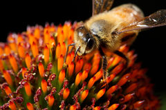 Honey bee at work stock photos
