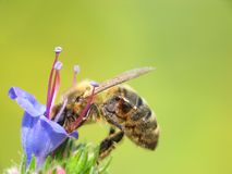 Honey bee in the work. Honey bee drinking nectar from bell-flower Stock Image