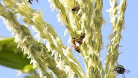 Honey bee worker. stock video