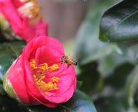 Honey Bee y la gardenia rosada imágenes de archivo libres de regalías