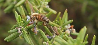 Honey Bee y polen Imagenes de archivo