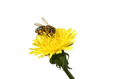 Honey bee on an yellow Dandelion flower. Bee collecting honey at yellow Dandelion flower. Isolated on white, path stock photography