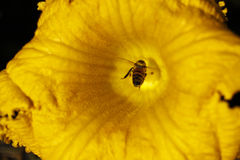 Honey bee in yellow flower Royalty Free Stock Photo