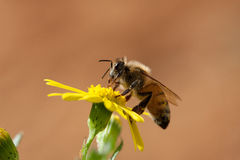 Honey Bee on yellow flower. Close-up of a Honey Bee on yellow flower over a light brown background Stock Image