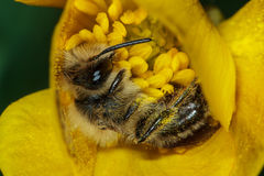 Honey Bee on Yellow Flower Stock Photography