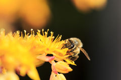 Honey Bee on Yellow Flower Royalty Free Stock Photo