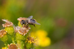 Honey Bee on Yellow Flower, Close Up Macro.  Royalty Free Stock Images